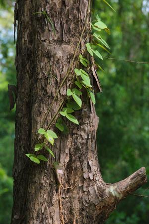 Creeping plant in Phu Kradueng, Loei, Thailand Stock Photo - 72579517