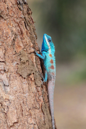 Blue-creasted Lizard climbing the tree. Stock Photo