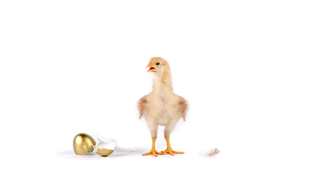 chick and golden egg in studio against a white background.