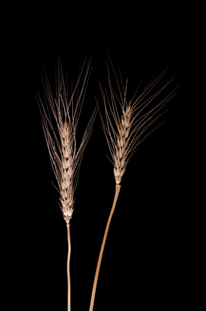 close up deatil of barley on the black background.