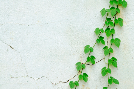 Abstract of Green ivy isolated on white background.