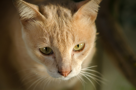 A Cat face with beautiful eyes close up portrait.