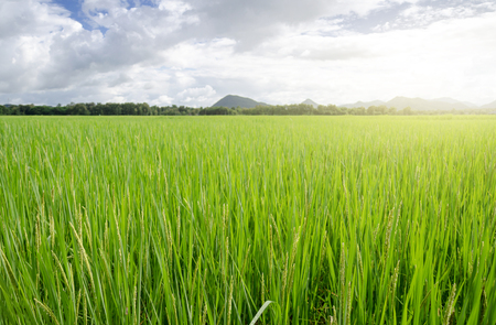 Green field With aromatic rice And the sky is the background.