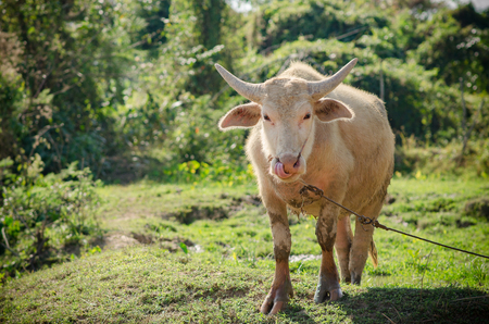 Albino buffalo in the green field. Stock Photo