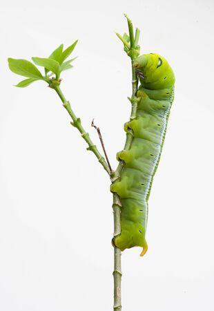 Oleander Hawk Moth Caterpillar (Daphnis nerii, Sphingidae), climb at plant, isolated on white background.