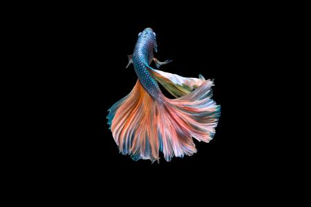 dragon swim: Fighting Fish Stock Photo