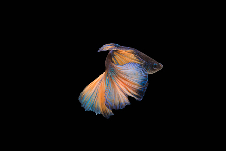 pace: Colourful Betta fish,Siamese fighting fish in movement isolated on black background.