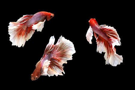 Group of moving Siamese fighting fish, Beta fish on black background