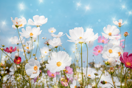 Soft focus Cosmos flower with bokeh star glillter on blue sky background