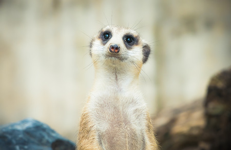 face close up: Meerkat face close up Stock Photo