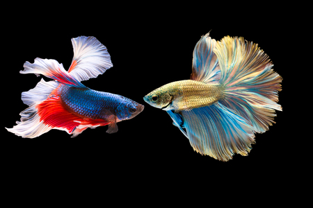 Siam Fighting Fish