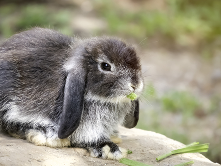lop lop rabbit white: Baby Holland lop rabbit eating grass Stock Photo