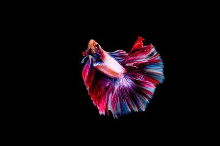 freshwater aquarium fish: Siamese Fighting Fish