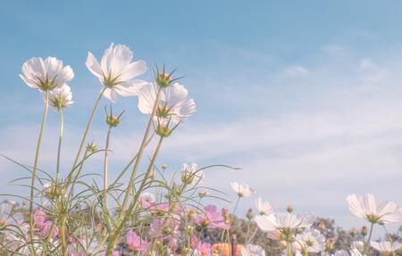Tono vintage hermosa flor de cosmos en el campo Foto de archivo