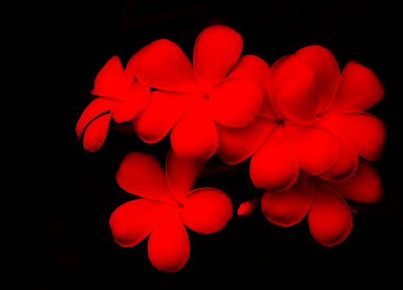 Plumeria flower on red and black background