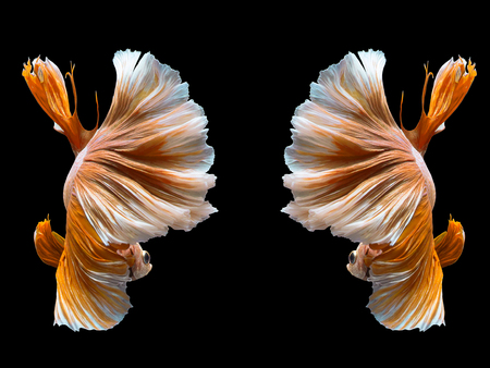 Capture the moving moment of white siamese fighting fish isolated on black background
