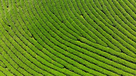 Aerial view of Tea tree background. Stock fotó