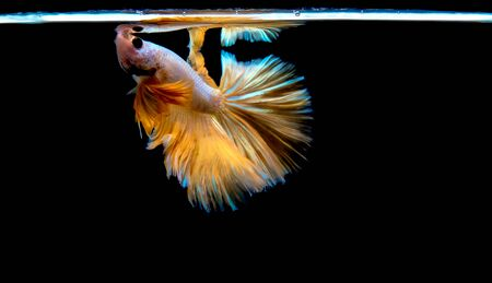 Movement of Siamese betta fish or half moon betta splendens fighting fish. Stock fotó