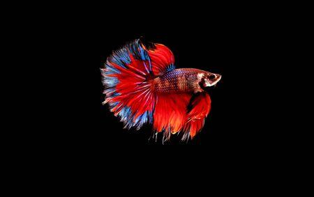 Movement of Siamese betta fish or half moon betta splendens fighting fish. 스톡 콘텐츠