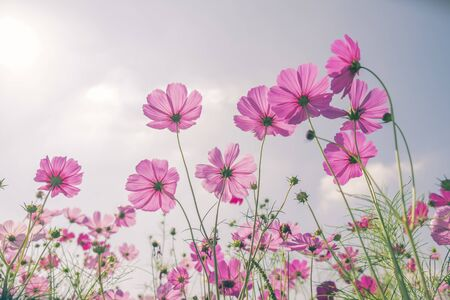 Pink beautiful cosmos flowers in nature