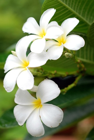 tender passion: White Plumeria flowers