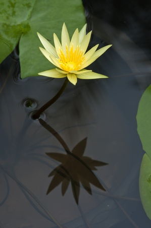 waterlilly: blooming of yellow waterlilly flower with reflection