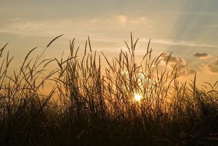 horizental: Silhouette Flora grass over sunset