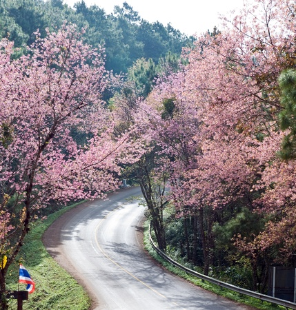 Cherry blossom along the road to Royal Agricultural Station Anngkhang in Chaing Mai , Thailand  Stock Photo - 12064895