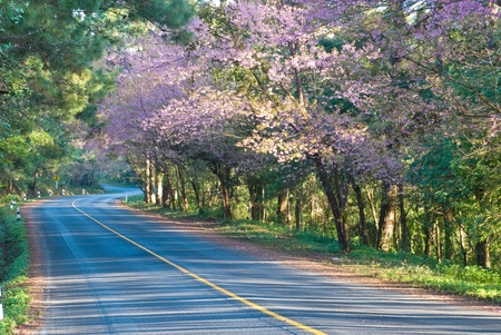 Cherry blossom along the road to Royal Agricultural Station Anngkhang in Chaing Mai , Thailand Stock Photo - 12805722