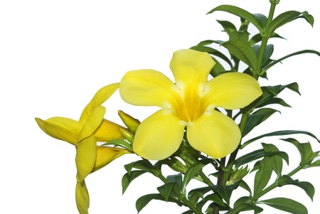 Allamanda or golden trumpet , beautiful yellow flower isolated on white background photo