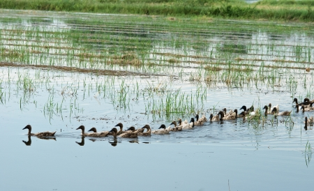 Ducks swimming in rice field photo