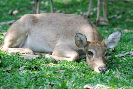Deer laying on green grass meadow photo
