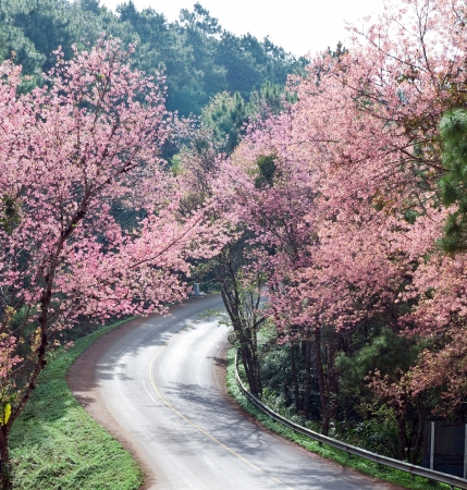 Cherry blossom along the road to Royal Agricultural Station Anngkhang in Chaing Mai , Thailand  photo