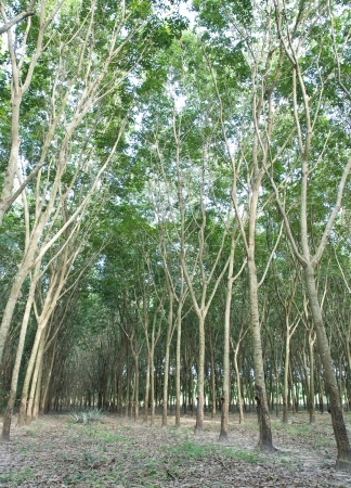 Rubber tree agriculture in Thailand photo