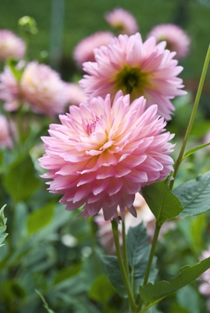 Sweet pink and beatiful Dahlia flower in garden  photo