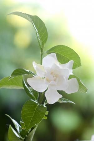 Beautiful white common gardenia or�cape jasmine flower in garden photo