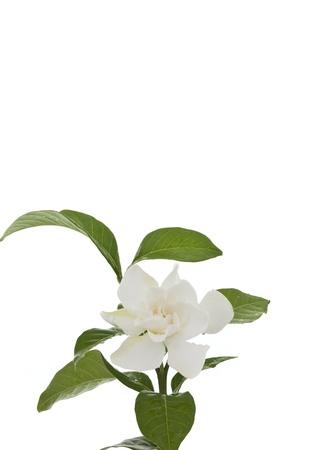 Beautiful white common gardenia or�cape jasmine flower isolated background photo