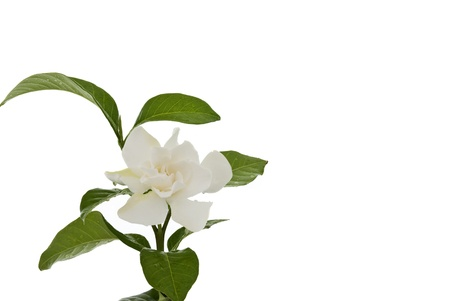 Beautiful white common gardenia or�cape jasmine flower isolated background Stock Photo - 15277206