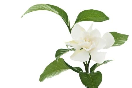 jasmine flower: Beautiful white common gardenia or�cape jasmine flower isolated background