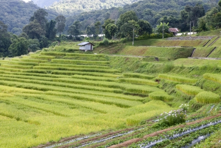 Terrace of rice field in Mae Klang Luang village in Thailand Stock Photo - 16175286