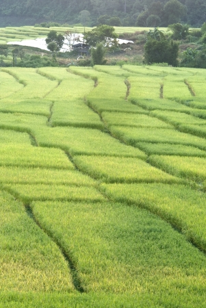 Terrace of rice field in Mae Klang Luang Village in Thailand Stock Photo - 16175297