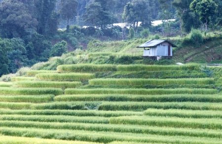 Terrace of rice field in Mae Klang Luang Village in Thailand photo