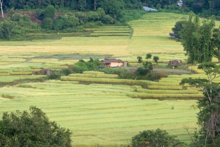Golden rice field in Mae Klang Luang village in Chaingmai, Thailand Stock Photo - 16493835