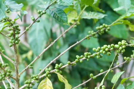 Arabica coffee plantation in Maeklangluang village, Thailand photo
