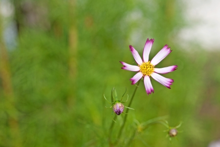 pinks: Beautiful pinks Cosmos flowers blooming in garden Stock Photo