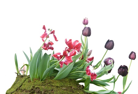whie: Beautiful Tulip flowers blooming on whie background