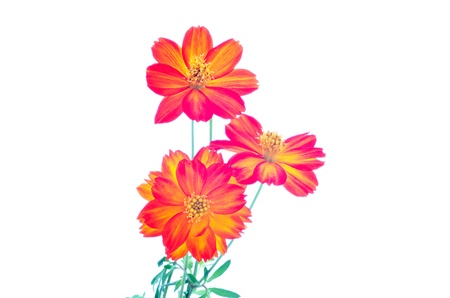 Cosmos sulphureus or yellow Cosmos flowers on white background  photo