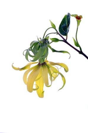 odorous: Dwarf Ylang-Ylang flower on white background