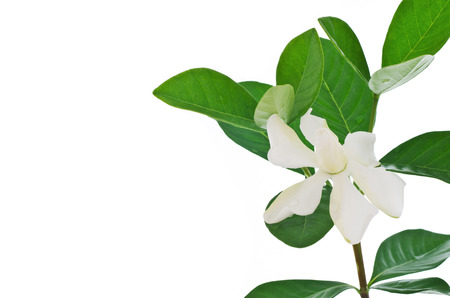 White Gardenia flower or Cape Jasmine (Gardenia jasminoides)\ on white background