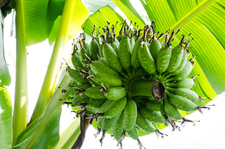 bunched: Green Lady Finger banana waitg for havest